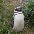 10. Tag – Ushuaia – Treffen mit Pinguinen
